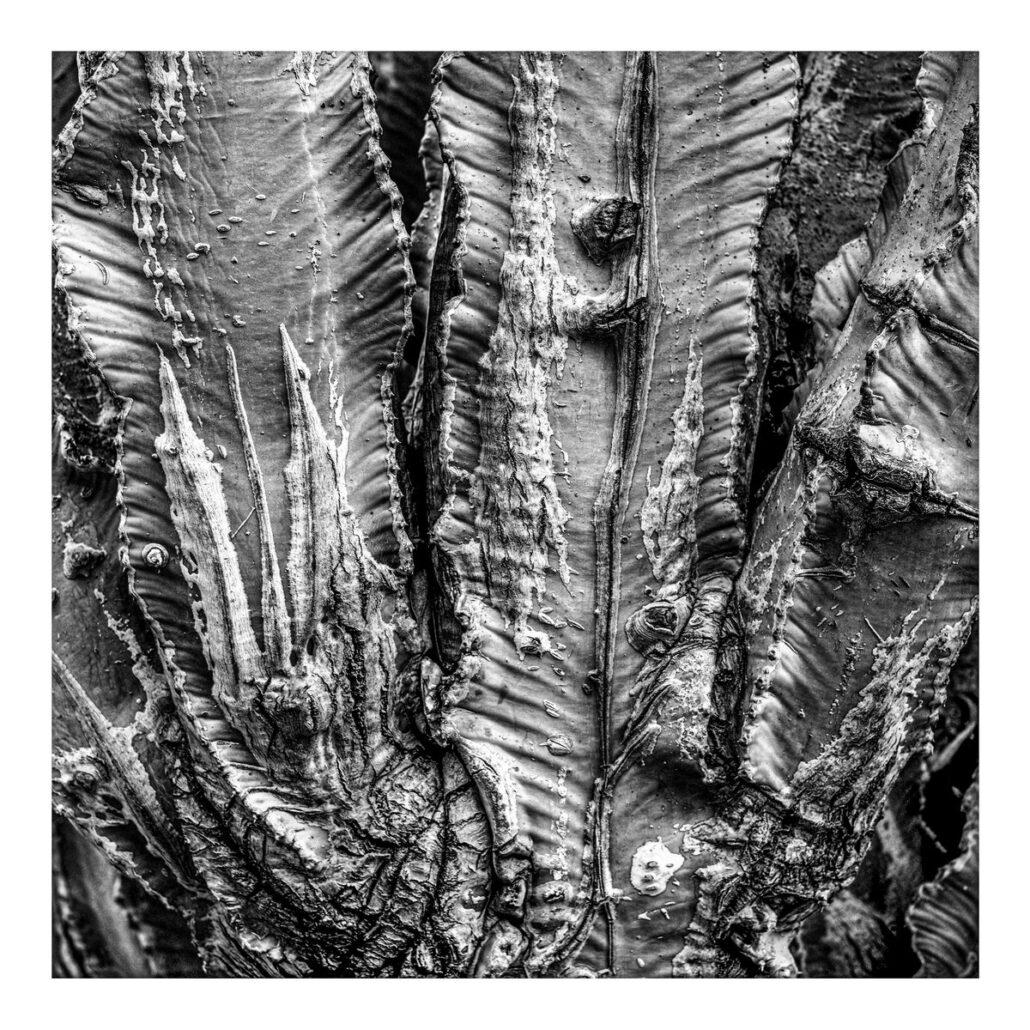 Texture sur tronc d'Euphorbe