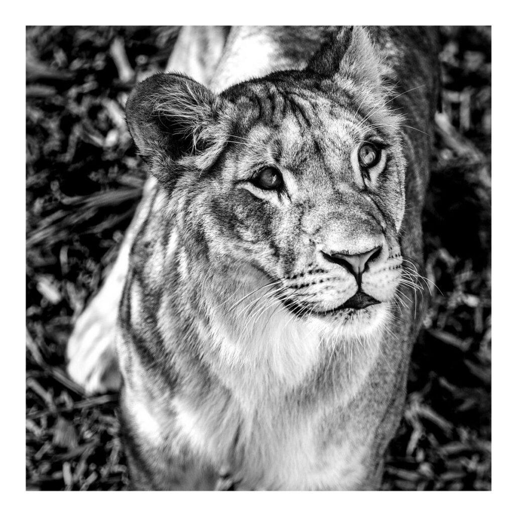 Jeune lionne